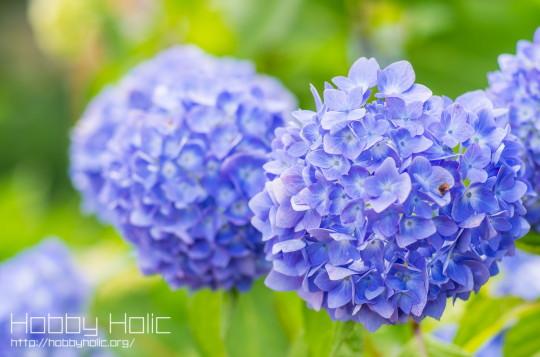 2013_0608_ajisai_03